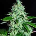 White Widow Feminised Auto